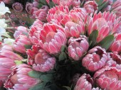 Protea - South Africa's National Flower